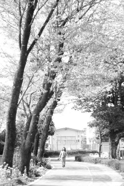 見上げれば、桜。
