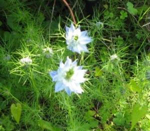 庭の花たち〜ニゲラ