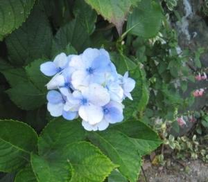 季節はずれの紫陽花