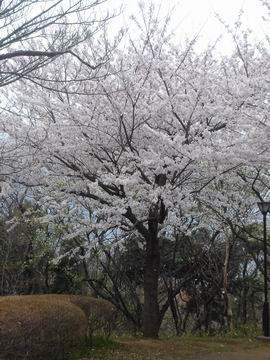 舞岡公園の桜