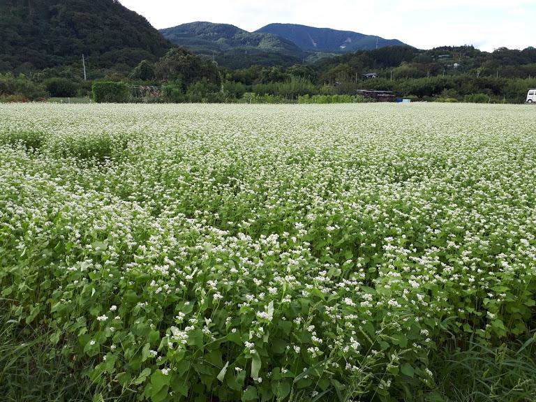 JR桑折駅の山側の畑