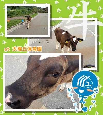 130822_a01_太陽が丘で牛さんと遭遇!