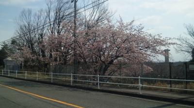 東山公園ちかくの桜