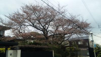 八事善光寺の桜
