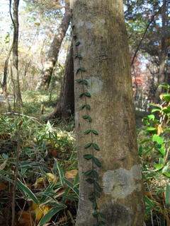 木を伝う葉