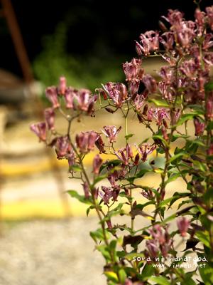 家に咲く ホトトギス。  スキダ、この色。