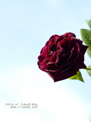 バラのザ・プリンス(華プラス) 深い色がすき。