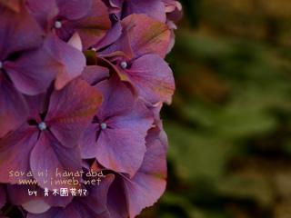 沢山の紫陽花に…セレブになった気分(笑