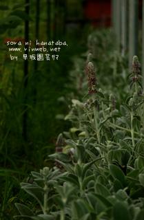 ラムズイヤーの花、、大好き。@早坂園芸サン