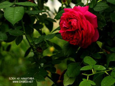 フイと最初のハウスに入った時に目に入った薔薇!