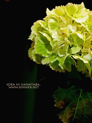 紫陽花「Ti amo」ステキ名前@花屋 空に花束