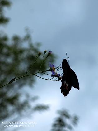 蝶とシオン。