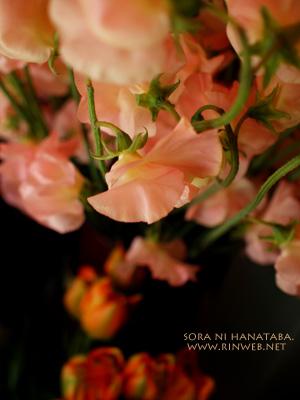 スイトピー(かぐや姫)@花屋 空に花束