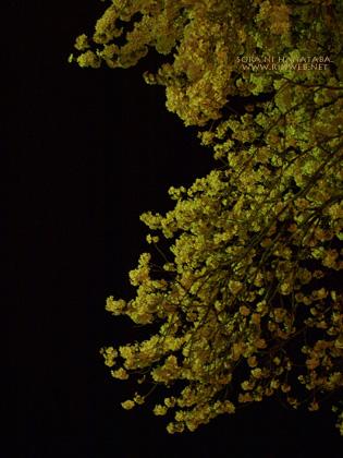 夜桜を見に@松戸市/桜通りへ