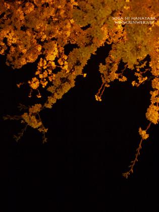 照明があたっていた桜を@松戸市/日本の道百選
