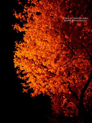 日本の道100選/常盤平さくら通りの夜桜を。花屋 空に花束