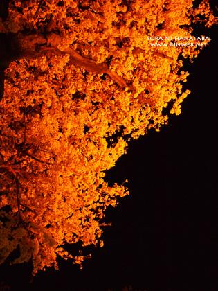 夜桜@日本の道100選/松戸市のさくら通りにて/花屋 空に花束