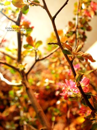 りんごの花を。