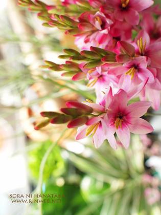イキシアのピンク色。