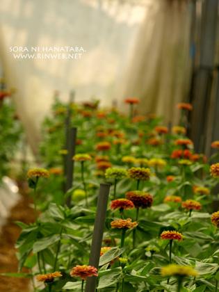 ジニア咲く、その花姿を@長崎県雲仙市にて