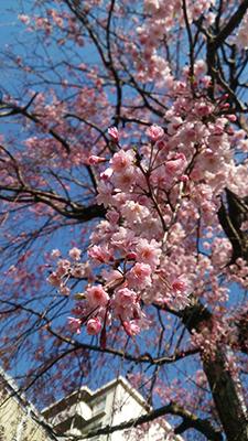 4月7日の桜を。
