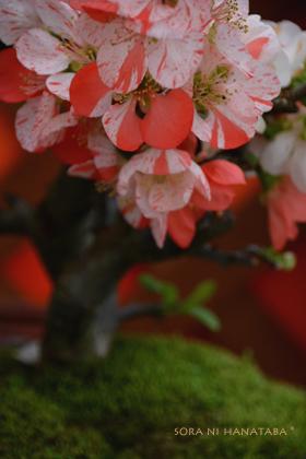ボケの花(放春花)「らんまん」