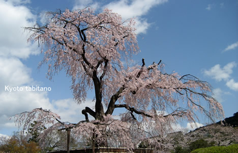 円山公園 祇園枝垂れ桜 満開