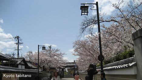 健仁寺の桜