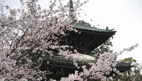 清涼寺の桜