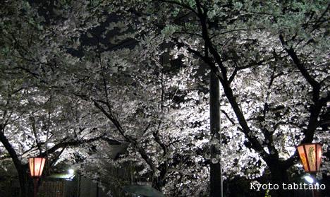 木屋町 夜桜