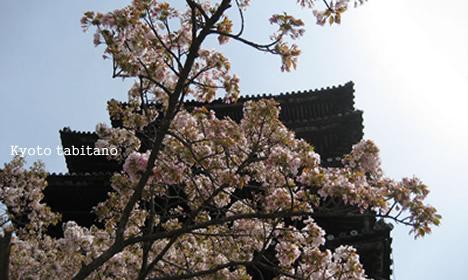 八坂の塔の桜