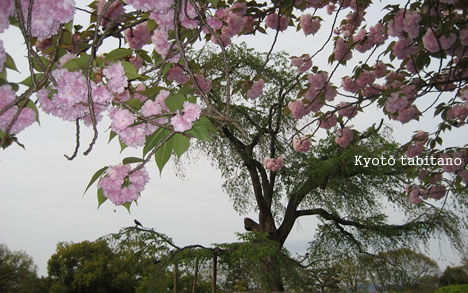 円山公園 八重桜