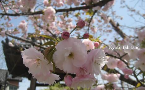 普賢象 桜