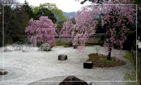 岩倉実相院 桜