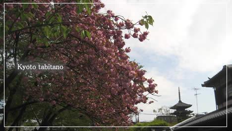 ねねの道 桜