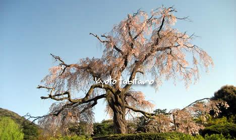 祇園しだれ桜