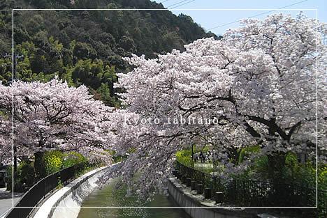 山科疏水 桜