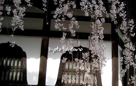 善峯寺 桜