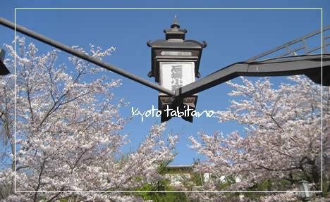 石塀小路 桜