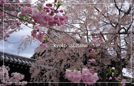 妙覚寺 桜