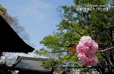 下御霊神社 桜