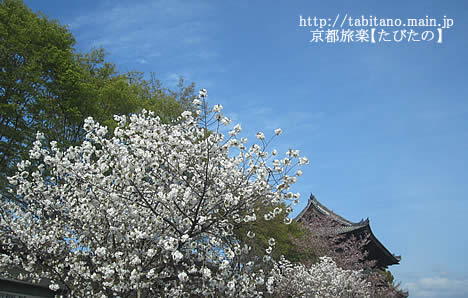 御室桜 仁和寺