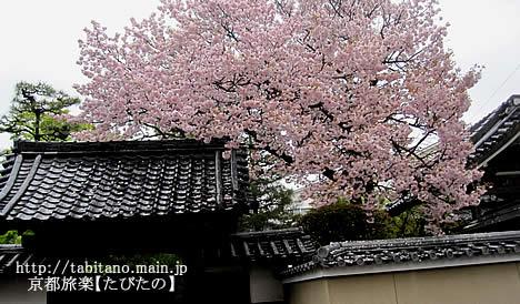 慈福寺 桜
