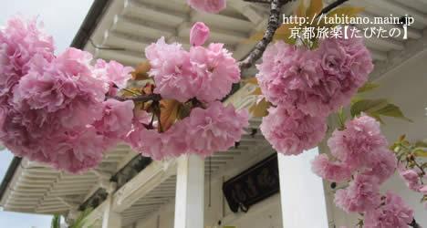 本禅寺 桜