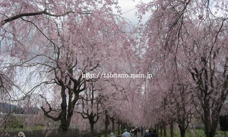 京都府緑化センター 桜