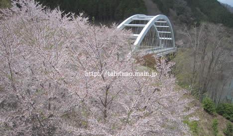 日吉ダム 桜