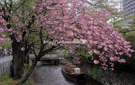 一之舟入 八重桜
