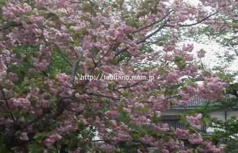 八重桜 二条城