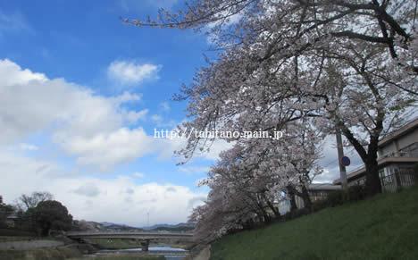 高野川 桜