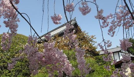 天寧寺 桜